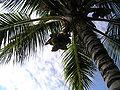 Coconuttree.JPG