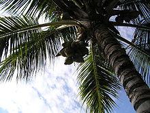 HOA VÀ THƠ - Page 34 220px-Coconuttree