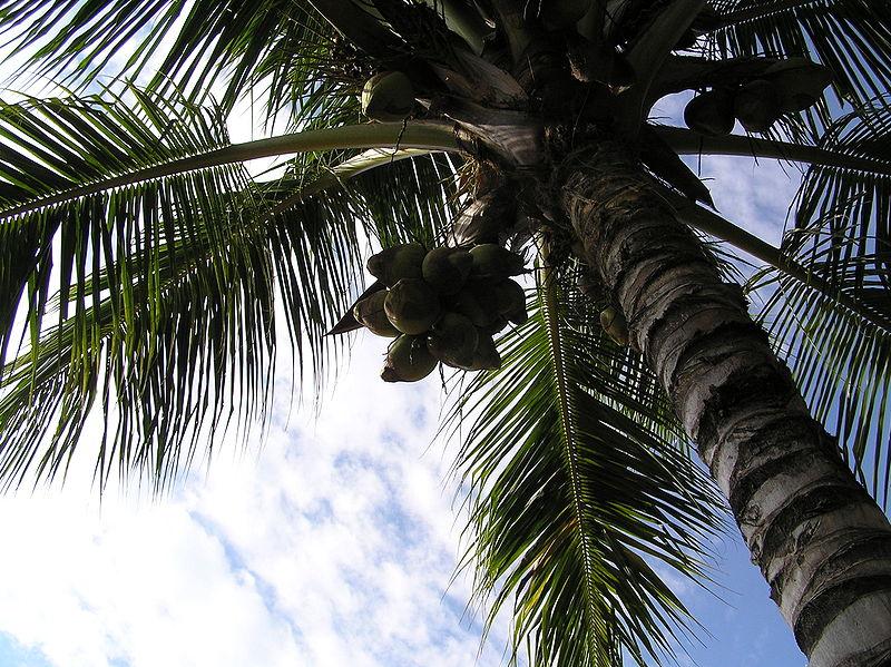 Tập tin:Coconuttree.JPG