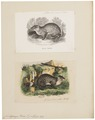 Coelogenys paca - 1700-1880 - Print - Iconographia Zoologica - Special Collections University of Amsterdam - UBA01 IZ20600087.tif