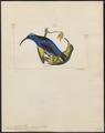 Coereba eximia - 1820-1860 - Print - Iconographia Zoologica - Special Collections University of Amsterdam - UBA01 IZ19000359.tif