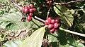 Coffee fruit.jpg