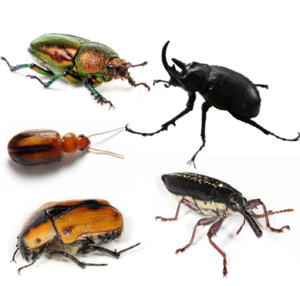 Top left to bottom right: female golden stag beetle (Lamprima aurata), rhinoceros beetle (Megasoma sp.), a species of Amblytelus, cowboy beetle (Chondropyga dorsalis), and a long nose weevil (Rhinotia hemistictus).