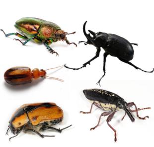 """Clockwise from top left: female golden stag beetle (<em><a href=""""http://search.lycos.com/web/?_z=0&q=%22Lamprima%20aurata%22"""">Lamprima aurata</a></em>), <a href=""""http://search.lycos.com/web/?_z=0&q=%22Dynastinae%22"""">rhinoceros beetle</a> (<em>Megasoma</em> sp.), long nose weevil (<em><a href=""""http://search.lycos.com/web/?_z=0&q=%22Rhinotia%20hemistictus%22"""">Rhinotia hemistictus</a></em>), cowboy beetle (<em><a href=""""http://search.lycos.com/web/?_z=0&q=%22Chondropyga%20dorsalis%22"""">Chondropyga dorsalis</a></em>), and a species of <em><a href=""""http://search.lycos.com/web/?_z=0&q=%22Amblytelus%22"""">Amblytelus</a></em>."""