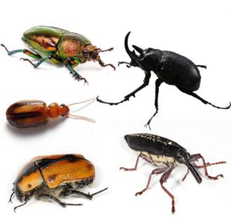 Beetle - Clockwise from top left: female golden stag beetle (Lamprima aurata), rhinoceros beetle (Megasoma sp.), long nose weevil (Rhinotia hemistictus), cowboy beetle (Chondropyga dorsalis), and a species of Amblytelus.