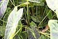 Colocasia esculenta var. illustris 3zz.jpg