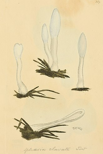 Podostroma - Podostroma alutaceum, in James Sowerby's Coloured Figures of English Fungi or Mushrooms (1797)