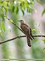 Common Cuckoo (Cuculus canorus) (45225643372).jpg