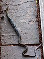 Common Eastern Garter Snake (7405011826).jpg