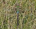 Common Green Darner (Anax junius) - Guelph, Ontario.jpg