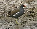 Common Moorhen (Gallinula chloropus) - Flickr - Lip Kee (2).jpg