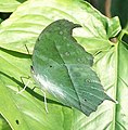 Common Mother-of-pearl Umdoni 14 06 2010 2.JPG