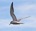 Common Tern 6 (5974224518).jpg