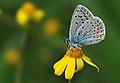 Common blue - Polyommatus icarus.jpg