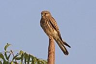 Common kestrel (Falco tinnunculus) female India.jpg