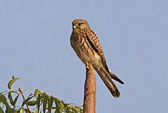 Common kestrel (Falco tinnunculus) female India.jpg