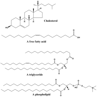 structures of some common lipids  at the top are cholesterol and oleic  acid  the middle structure is a triglyceride composed of oleoyl, stearoyl,
