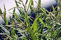 Comptonia-peregrina-USFWS-B.jpg