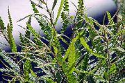 Comptonia-peregrina-USFWS-B