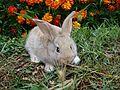 Conejo común.jpg