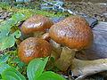 Conical-Hat Mushrooms (8055788423).jpg