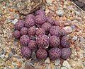 Conophytum minimum - Laingsburg RSA 4.jpg
