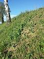 Conringia orientalis sl3.jpg