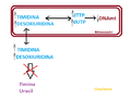 Conseqüències de la mutació al gen TYMP.png
