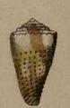 Conus litoglyphus 001.png