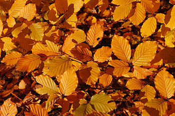 Copper Beech Fagus sylvatica f. purpurea Autumn Leaves Closeup 3008px.jpg
