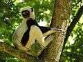 Coquerel's Sifaka, Ankarafantsika, Madagascar 2.jpg