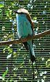 Coracias abyssinica (20834188283).jpg