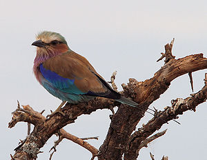A Lilac-breasted Roller sitting on a tree