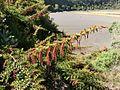 Coriaria ruscifolia subsp microphylla Irazu 1.jpg
