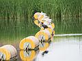 Cormorant on bouy (14348145305).jpg
