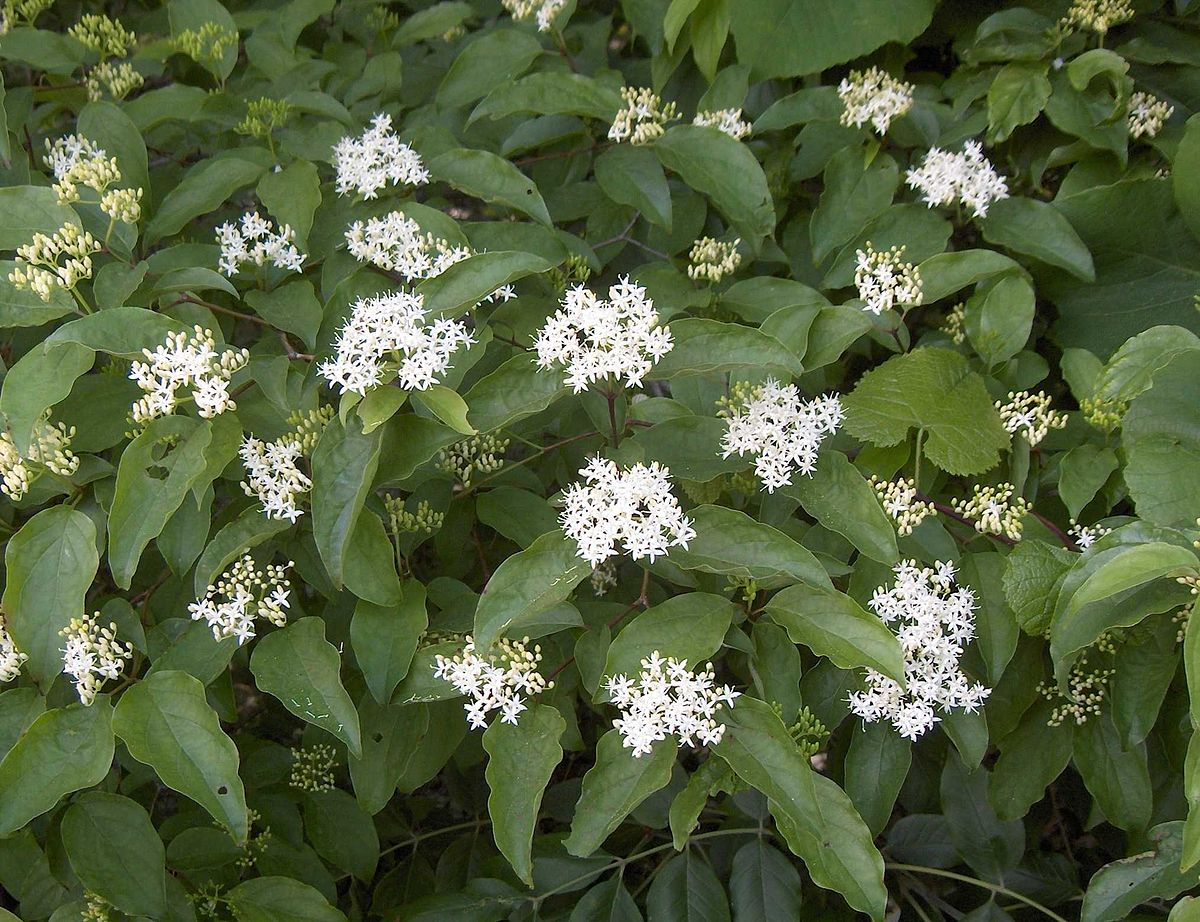 Cornus drummondii wikipedia for Small tree varieties