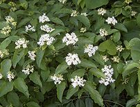 Cornus_drummondii flowers