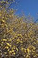Cornus mas (Cornelian-cherry) (32900474724).jpg