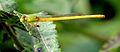 Coromandel Marsh Dart (Ceriagrion coromandelianum).jpg