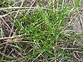 Coronopus squamatus plant (07).jpg