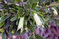 Correa glabra, Wyndham Vale Australia (4530198539).jpg