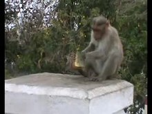 Plik:Correction-Flexibility-in-Food-Extraction-Techniques-in-Urban-Free-Ranging-Bonnet-Macaques-Macaca-pone.0091480.s009.ogv
