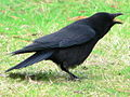 Corvus brachyrhynchos 30157.JPG