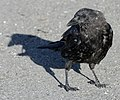 Corvus caurinus.jpg
