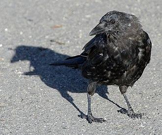 Northwestern crow - Image: Corvus caurinus