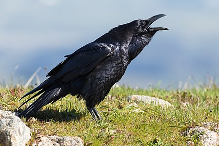 American raven (Corvus corax sinuatus) vocalizing at Point Reyes National Seashore, Marin County, California