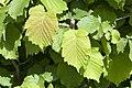 Corylus leaves - Fındık yaprağı.jpg