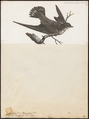 Cotile fuligula - 1796-1808 - Print - Iconographia Zoologica - Special Collections University of Amsterdam - UBA01 IZ16700185.tif