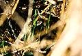 Couleuvre à collier dissimulé dans la végétation.jpg