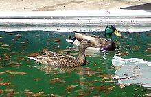 Couple de canards colverts.jpg
